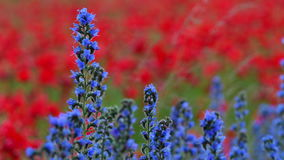 Blue weed, Echium vulgar wildflower during sunrise at the island Gotland stock video