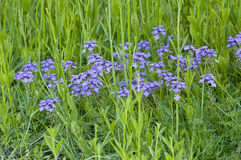 Blue weed flowers Stock Photography