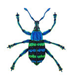 Blue Weevil. Eupholus magnificus is from Papua New Guinea. The Picture  is drawn manually. It's drawn by a pencil and painted by felt pens Royalty Free Stock Photo
