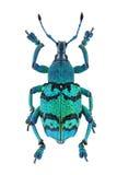 Blue weevil Eupholus schoenherri Royalty Free Stock Image