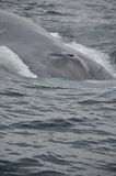 Blue Whale. Diving into the Pacific ocean with close up of blow hole royalty free stock photo