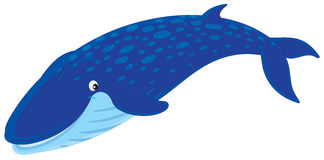 Blue whale. Vector clip-art illustration of a swimming blue rorqual Royalty Free Stock Images