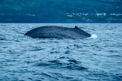 A blue whale in the Atlantic. A huge ocean giant arches her back as she dives off the coast of Pico Island in the Azores stock photo