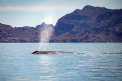 Blue Whale the biggest animal in the world. In baja california stock photo
