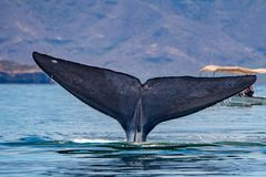 Blue Whale the biggest animal in the world. 24 meters long stock image