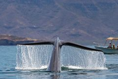 Blue Whale the biggest animal in the world. 24 meters long stock images
