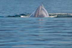 Blue Whale the biggest animal in the world. 24 meters long royalty free stock photos