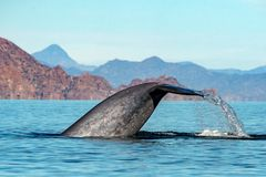 Blue Whale the biggest animal in the world. 24 meters long royalty free stock photography