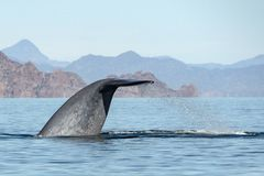 Blue Whale the biggest animal in the world tail detail stock image