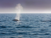 Blue whale blows. In morning mist in the calm waters of the Pacific Ocean royalty free stock photo