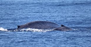 A blue whale calf with its mother. Near the coast of island Pico Azores stock image