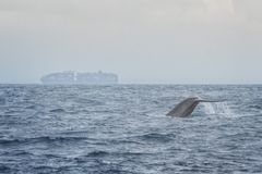 Blue Whale. With Cargo Ship in the Background near Mirrisa, Sri Lanka royalty free stock images