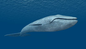 Blue Whale stock photography