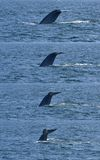 Blue Whale Diving. Sequence of a blue whale's tail flukes as he dives off of Santa Barbara, California Stock Photography