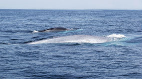 Blue Whale And Fin Whale Traveling Together stock photography