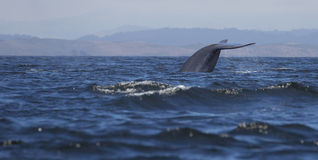 Blue Whale Fluke Royalty Free Stock Photography