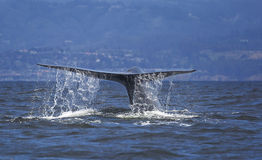 Blue Whale Fluke. A blue whale shows it's fluke as it dives into the waters of Monterey Bay, California stock photos