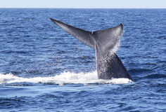 Blue Whale Flukes. A large blue whale lifts its flukes in the Pacific Ocean near San Diego Stock Photo