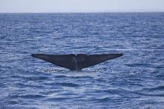 Blue Whale flukes off California stock photo
