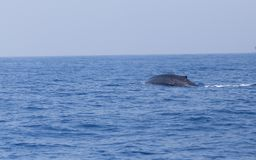 Blue whale in Indian ocean. Back of Blue whale Balaenoptera musculus in Indian ocean stock photography