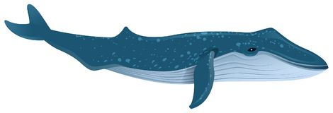 Blue whale is largest marine mammal. Isolated on white vector cartoon illustration Stock Photography