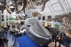 Blue Whale, Natural History Museum, London. Blue Whale at London's Natural History Museum stock photos