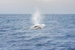 Blue Whale. Near Mirrisa, Sri Lanka royalty free stock photos