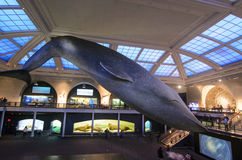 Blue whale. Whale in the New York Museum of Natural History stock photography