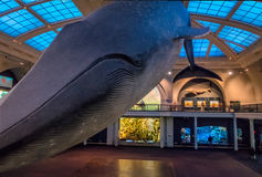 Blue Whale at Ocean Hall of the American museum of Natural History AMNH - New York, USA Stock Images