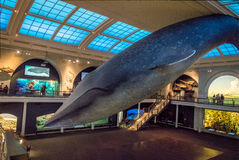 Blue Whale at Ocean Hall of the American museum of Natural History AMNH - New York, USA royalty free stock photo