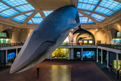 Blue Whale at Ocean Hall of the American museum of Natural History AMNH - New York, USA. NEW YORK, USA - December 05, 2016: Blue Whale at Ocean Hall of the stock photography