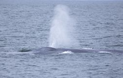 Blue Whale off California. The largest animal on Earth, the magnificent Blue Whale. Here, an adult surfaces off of San Diego, California, showing its beautiful royalty free stock photography