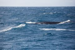 Blue whale in the open sea stock image