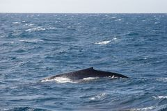 Blue whale in the open sea. Blue whale watching safari in Sri Lanka. Blue whale in the open sea stock photo