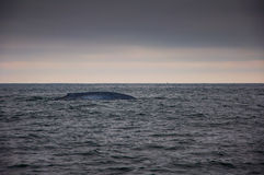 Blue whale in sea Royalty Free Stock Photos