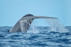 A blue whale showing its tail flukes royalty free stock photos