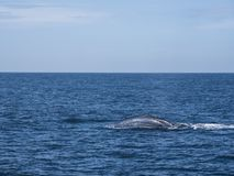 Blue whale at Shri Lanka. A blue whale relaxedly rests on the surface of the sea. Near Mirissa, Shri Lanka royalty free stock images