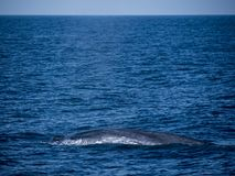 Blue whale at Shri Lanka. A blue whale relaxedly rests on the surface of the sea. Near Mirissa, Shri Lanka royalty free stock image