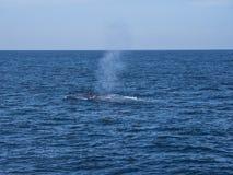 Blue whale at Shri Lanka royalty free stock photos