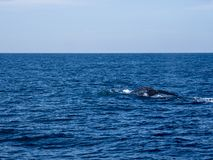 Blue whale at Shri Lanka. A blue whale starts to dive. The fluke is lifted above the surface of the water . Near Mirissa, Shri Lanka stock photos
