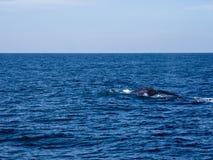 Blue whale at Shri Lanka stock photos