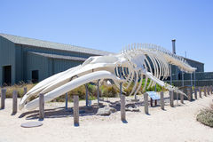 Blue Whale Skeleton. A complete blue whale skeleton formed from a single whale, on display at a marine science center stock photo