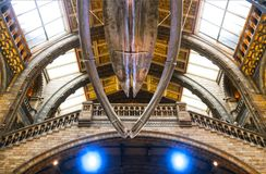 A Blue Whale skeleton hanging in Great Hall at Natural History Museum in London England 1 - 11 - 2018. Blue Whale skeleton hanging in Great Hall at Natural royalty free stock images