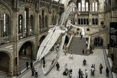 Blue whale skeleton in museum, London. LONDON, UNITED KINGDOM - MAY 13: Skeleton of blue whale and visitors in Natural history museum on May 13, 2018 in London stock photo