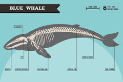 Blue whale skeleton. Blue whale skeleton with name of different parts of the body Royalty Free Stock Images