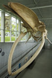 Blue Whale Skeleton, UBC Campus , Vancouver, British Columbia, Canada. The University of British Columbia has many treasures among which this amazing hanging stock photos