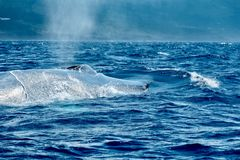 Blue whale surfacing at Pico, Azores stock image