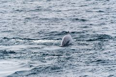 Blue Whale swimming near Svalbard. Blue Whale Balaenoptera musculus swimming near the coast of Svalbard, Norway royalty free stock images