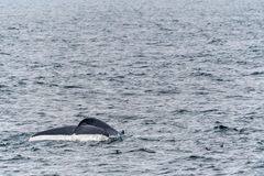 Blue Whale showing tail flukes near Svalbard royalty free stock image