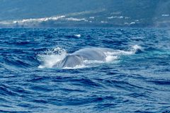 A blue whale swimming towards the camera. A fully grown blue whale swims directly toward the camera before diving under the boat stock photos